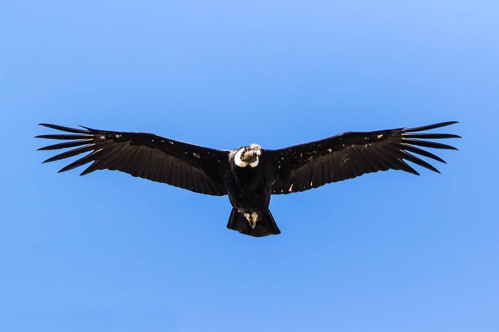 A condor gliding ©Manuel ROMARIS/Flickr